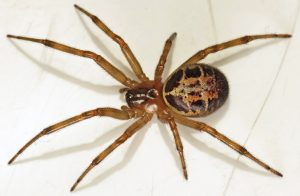 False Widow Spider Removal