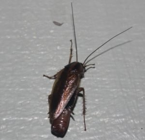 Effective Cockroach Control for your business