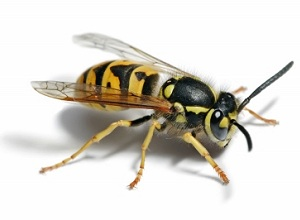Wasp nest Removal Wandsworth